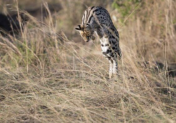 Serval jumping onto prey