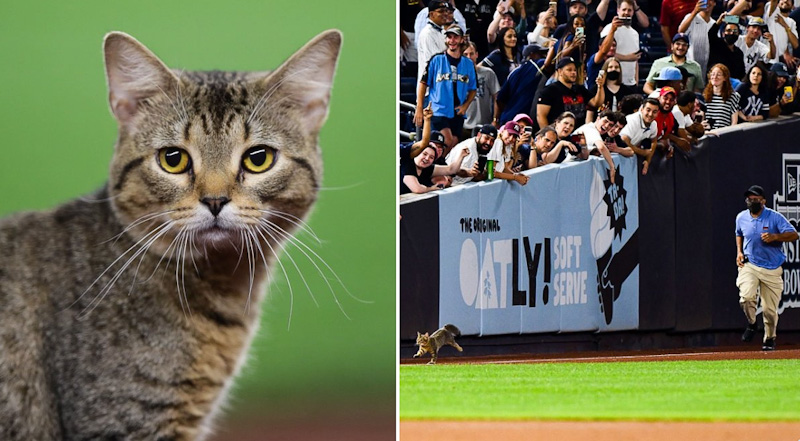 Tabby cat evades capture at baseball ground