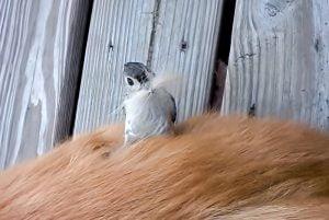 Titmouse plucks fur from a dog