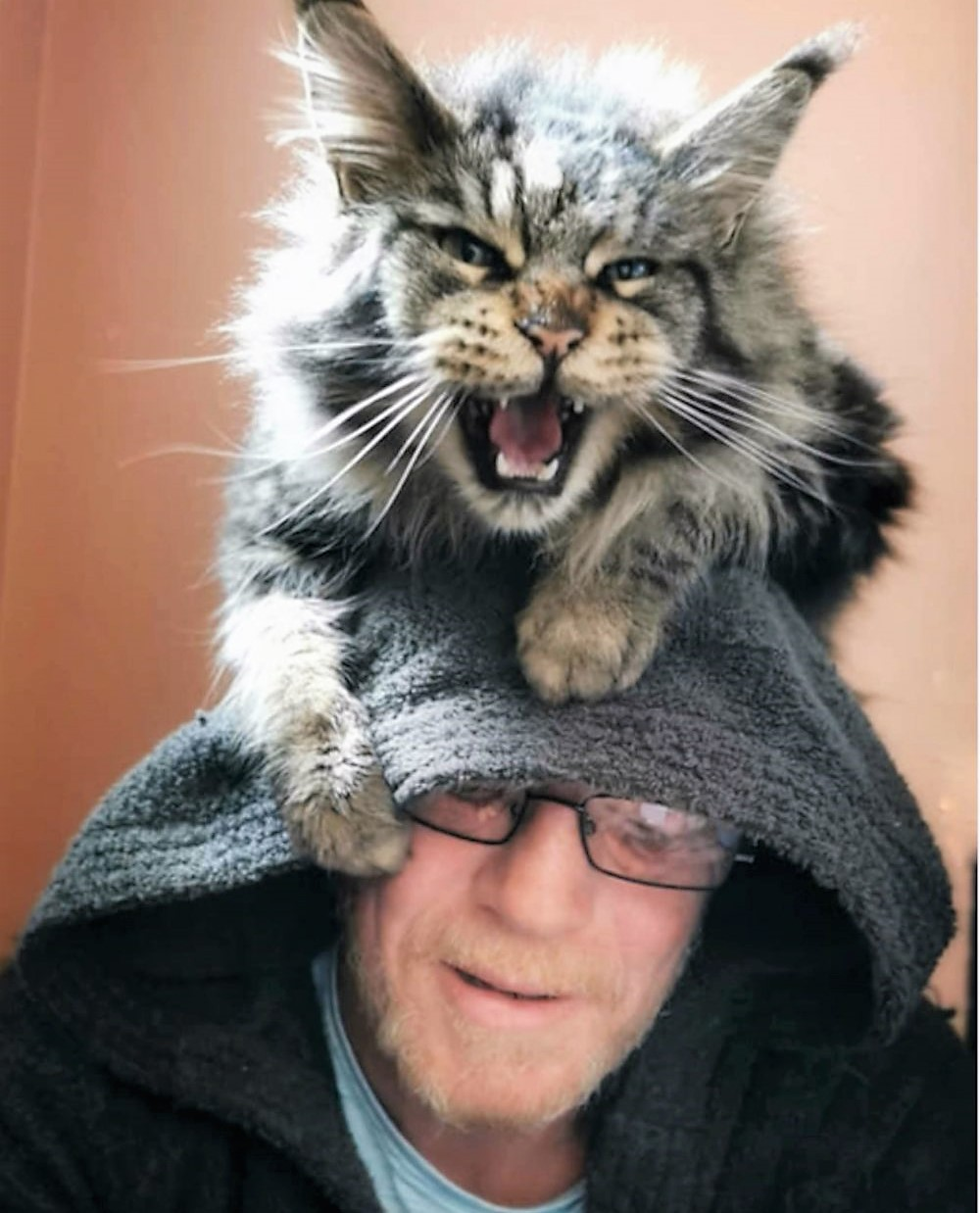 William and Wallace an affectionate Maine Coon