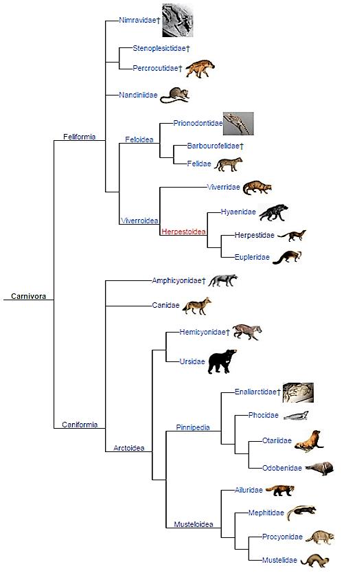 Carnivora evolution