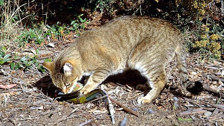 Aussie cat killing prey