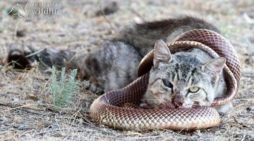 Australian feral cat kills a venomous mulga snake