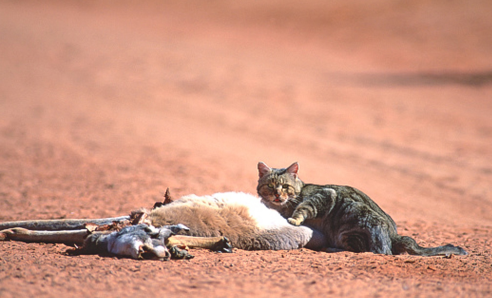 Australian feral cat