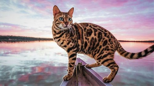 Bengal cats are more likely to be less water-averse than other cat breeds