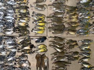 Birds killed by flying into World Trade Center NYC one morning. Many were not picked up and photographed.