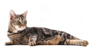 The blotched tabby is the most common UK cat