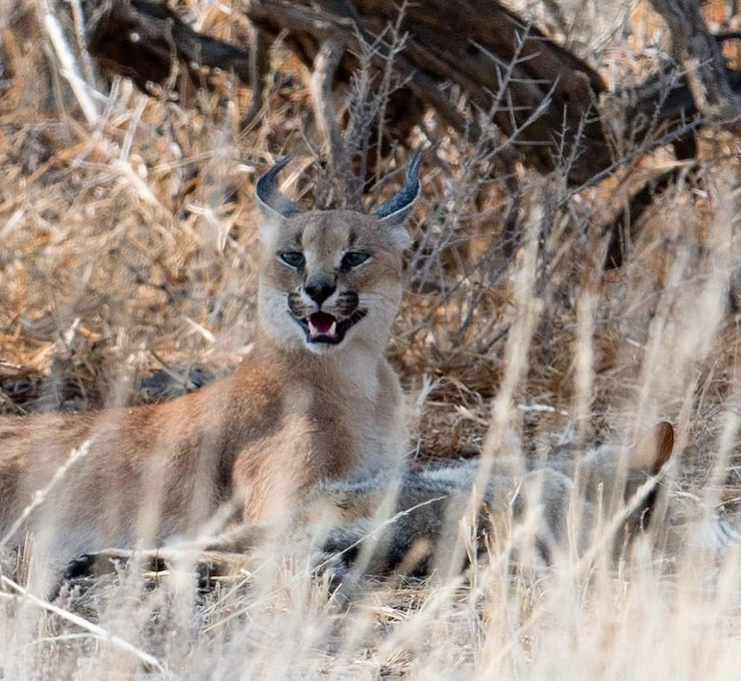 Caracal catches wildcat and devours it