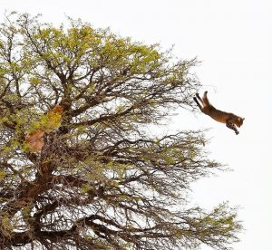 Caracal forces African wildcat to jump from a tree at a height of about 10m