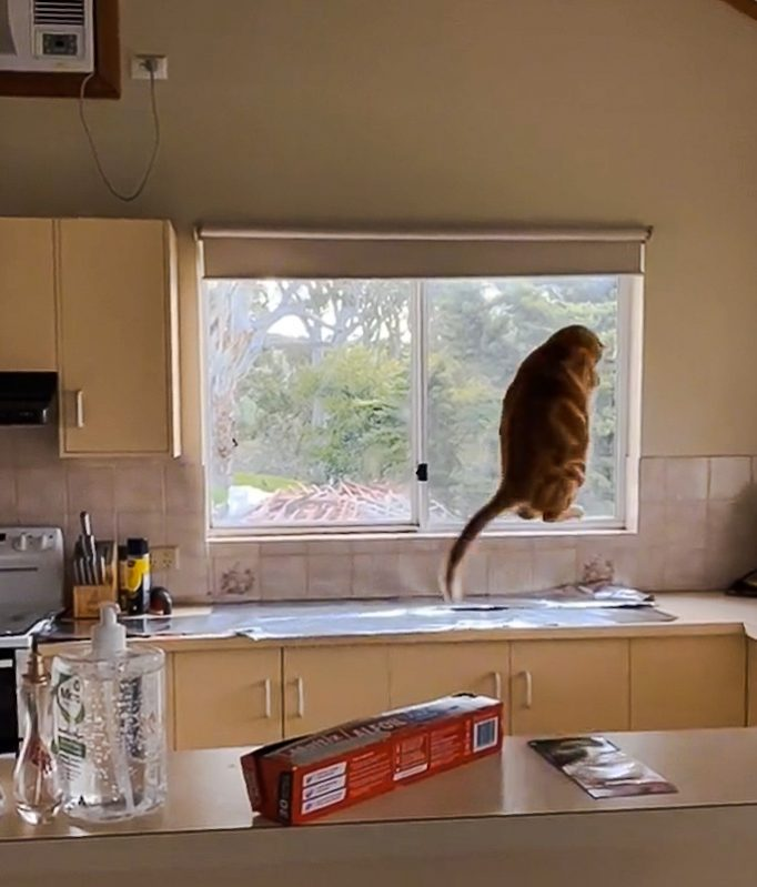 Cat momentarily scared after jumping on kitchen counter covered with tin foil