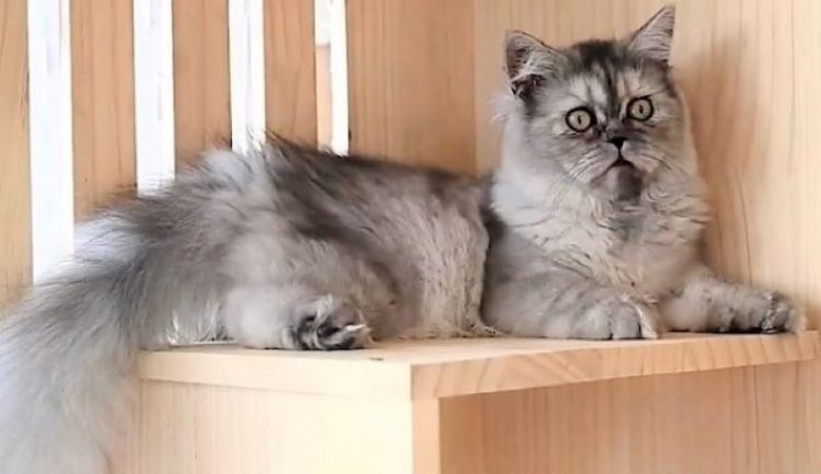 Cloned British Longhair made in China