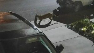 Do mountain lions eat cats? Well yes and this screenshot from a video pretty well proves it.