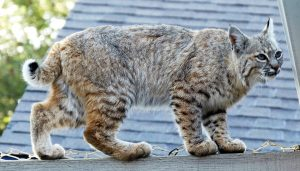 There is a greyish colour to this bobcat