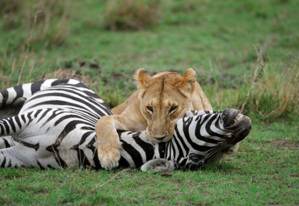 Lion kills zebra