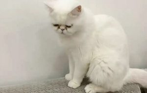 Miss Liu's Exotic Shorthair one of three cats owned by her that were euthanised