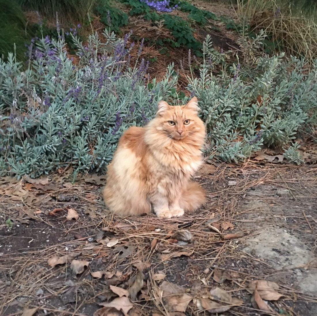 Nutmeg, a favorite Disneyland cat