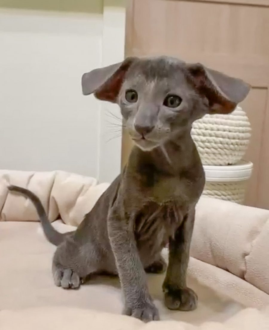 Picture of an Oriental Shorthair with puppy ears