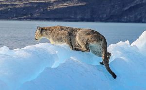 Picture of a puma on an iceberg off the Upsala glacier in Patagonia's Los Glaciares National Park, Argentina