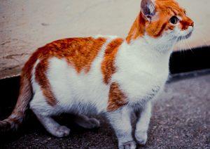 Red harlequin cat