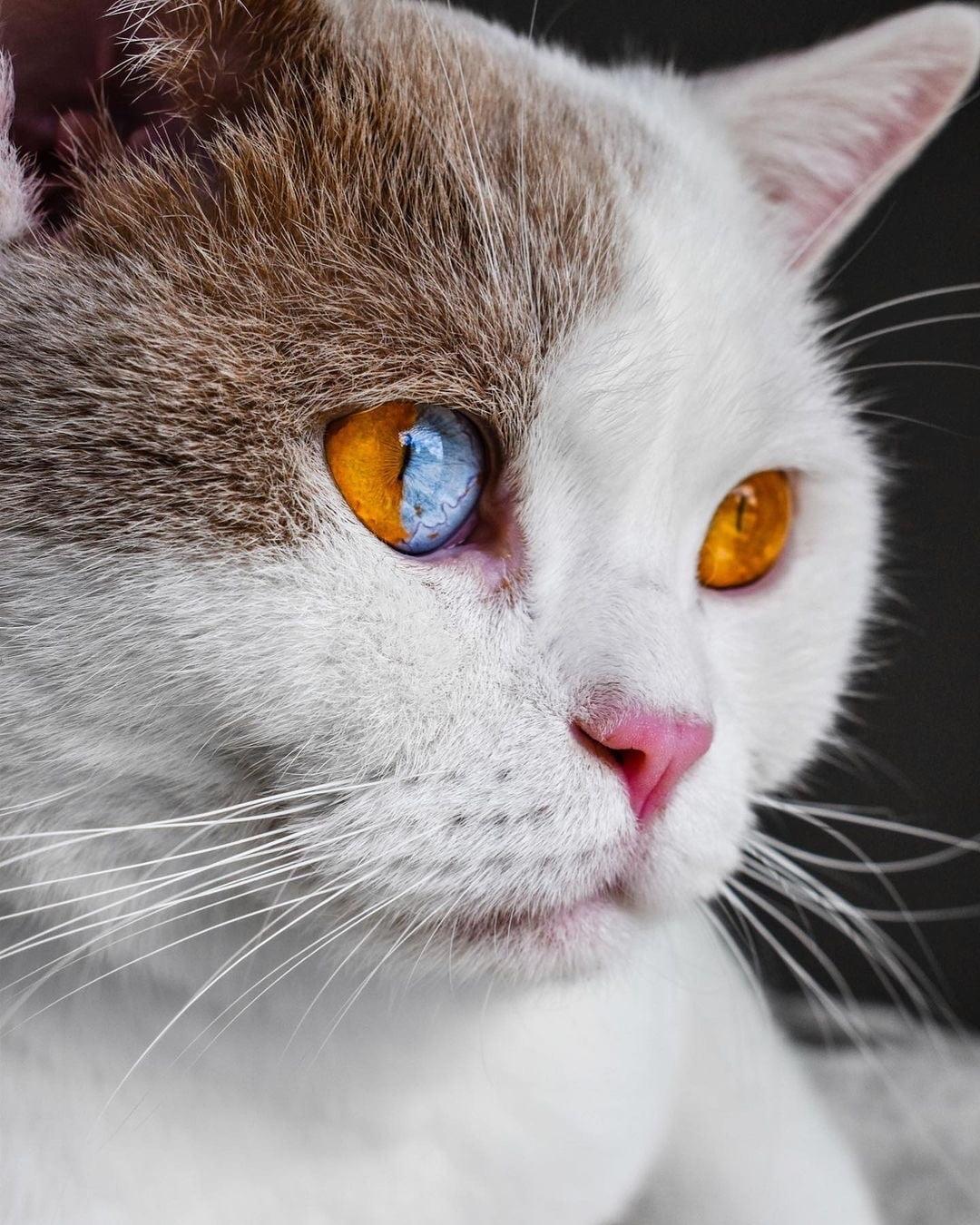 Sectoral heterochromia in a cat