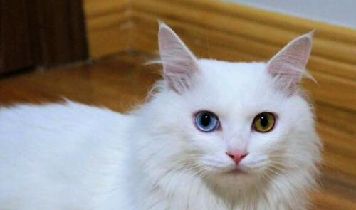 Shandong Lion Cat?