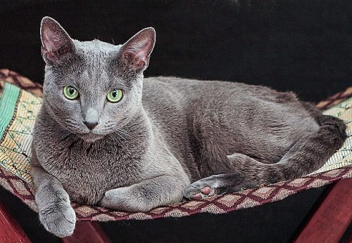 Super Russian Blue cat. Picture in public domain on Twitter.