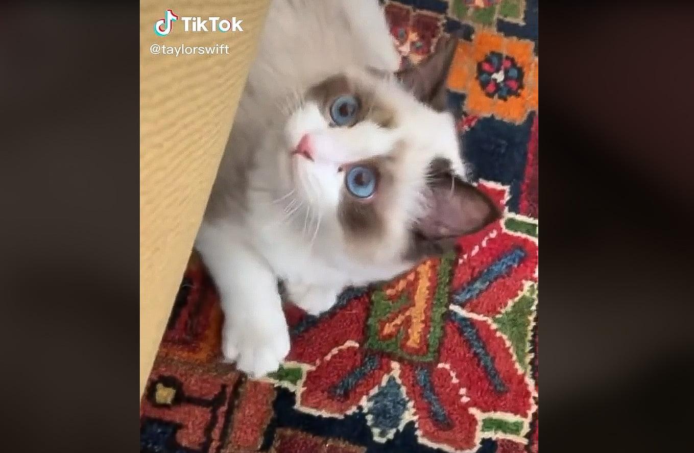 Taylor Swift's Ragdoll cat Benjamin Button