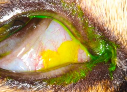 The eye with green gluey substance around it