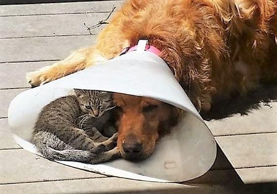 Cat shares Elizabethan collar with dog companion