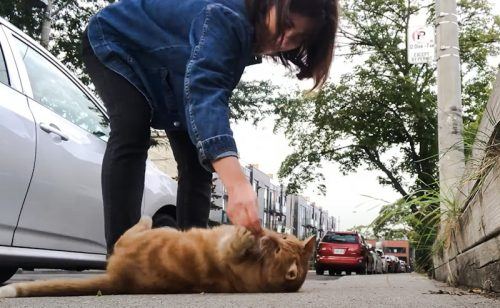 Clicker training a domestic cat using a clicker and food reward to do the roll over