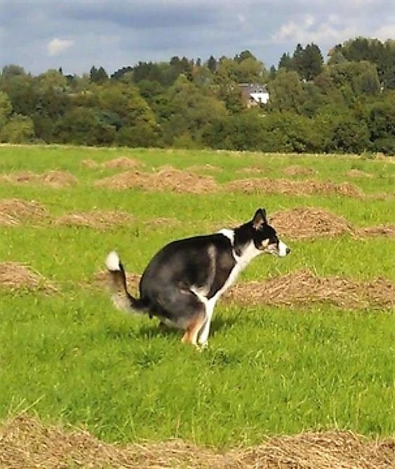 Dog defecating
