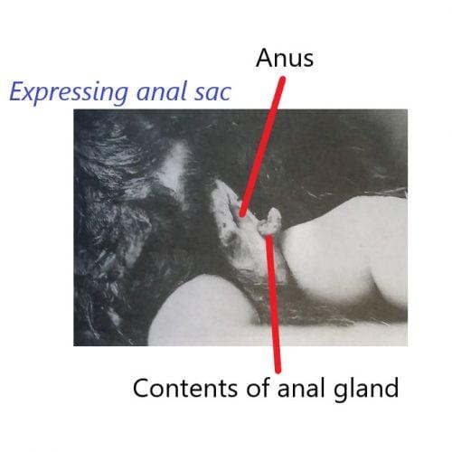 Expressing cat anal sacs