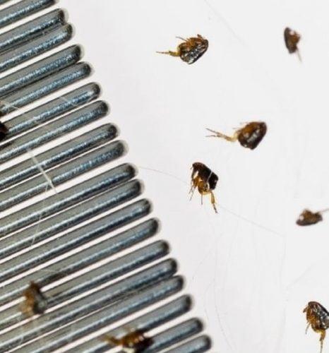 Flea comb and fleas