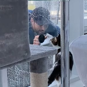 Indoor apartment cat intrigued with the activities of the window cleaner