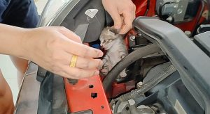 Kitten - one of 2- rescued from an engine bad in Malaysia. Their mother took them away