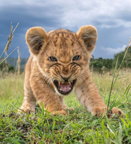 Lion cub in Masai Mara squares up to remotely operated camera