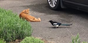 Magpie harasses a ginger tabby cat to protect her offspring during nesting season