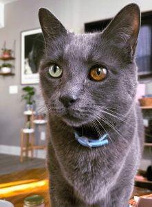 Odd-eye colour in an all-grey cat