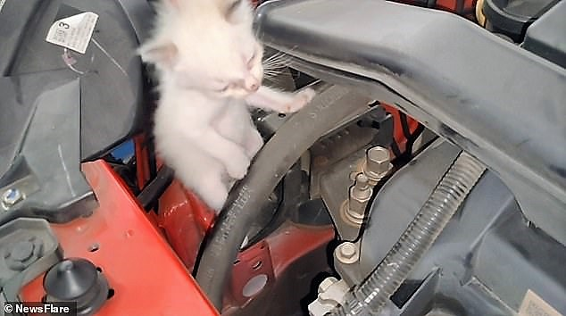 One of 2 kittens removed from the engine bay of a car in Malaysia