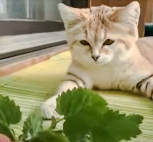 Sand cat meows when presented with a sprig of catnip