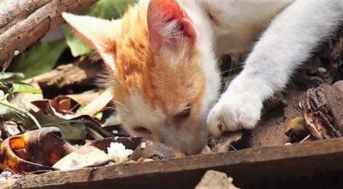 Stray cat scavenging