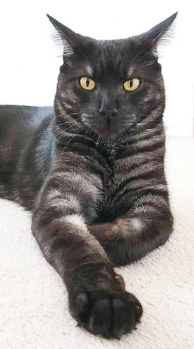 Stunning black mackerel tabby male cat
