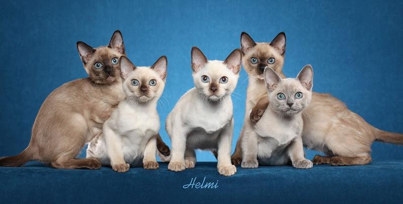 Tonkinese kittens