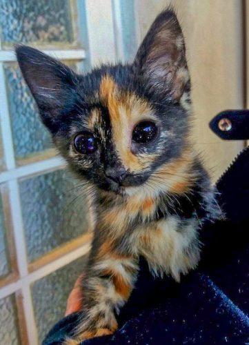 Tortoiseshell kitten with star studded eyes