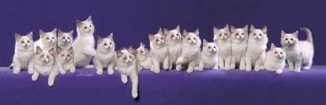 18 Ragdoll kittens