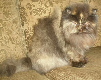 Tia, tortie rescue Persian, surrendered for litterbox issues, adopted & doing wonderfully!
