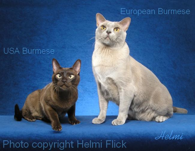American and European Burmese cats together