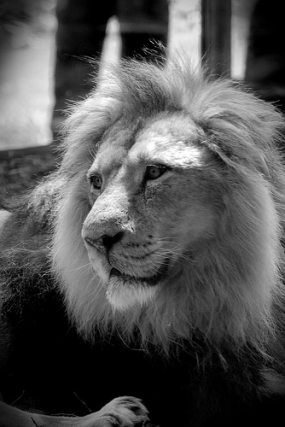Asiatic lion at Bristol zoo UK