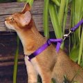 Chausie cat on leash
