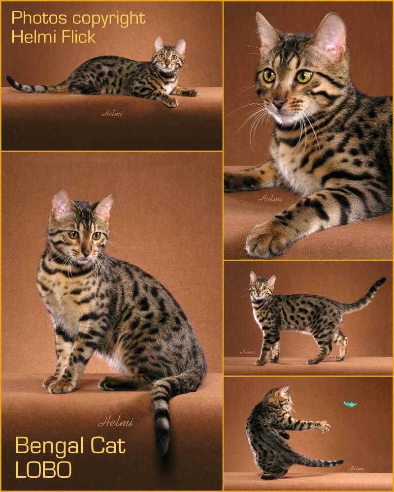 Bengal Cat LOBO